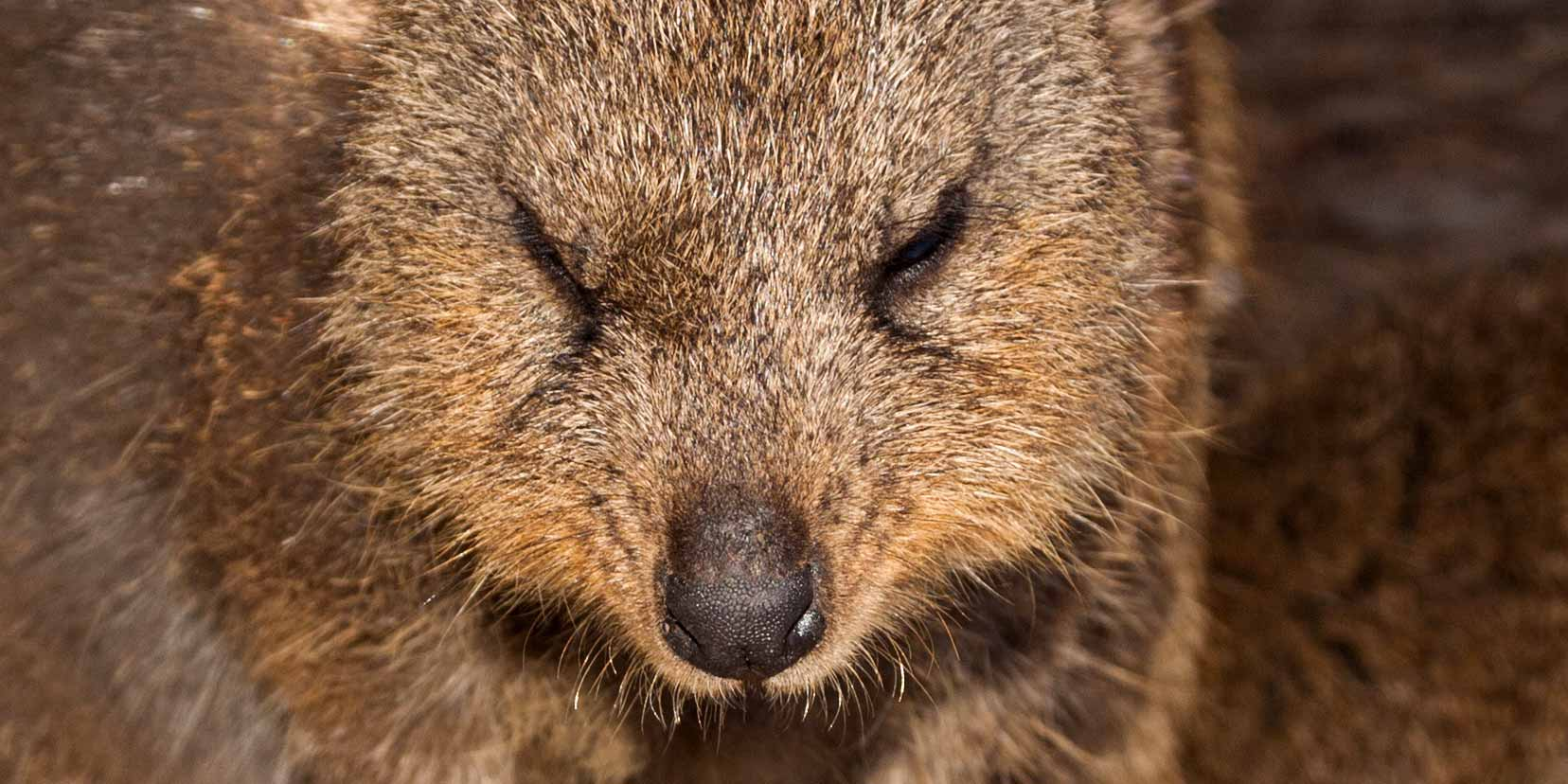 angry-quokka-sp